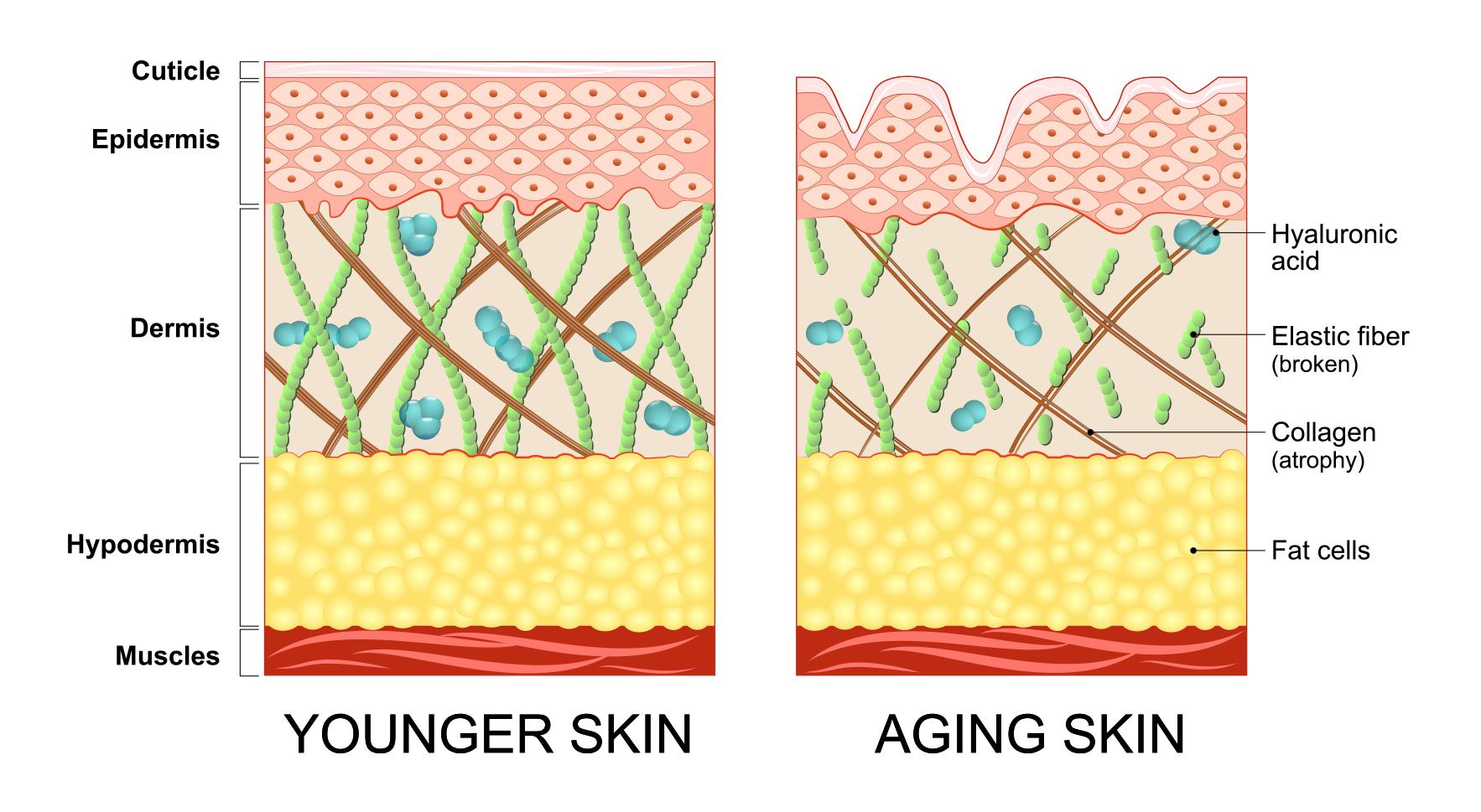 表皮、真皮、皮下組織